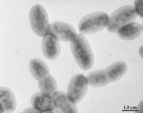 Azospirillum brasilense electron micrograph
